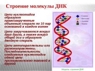 Строение молекулы ДНК Цепи нуклеотидов образуют правозакрученные объемные спи