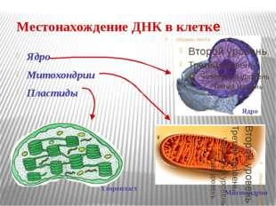 Местонахождение ДНК в клетке Ядро Митохондрии Пластиды Хлоропласт Митохондрия