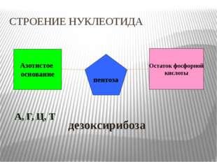 Азотистое основание Остаток фосфорной кислоты пентоза А, Г, Ц, Т   дезоксир