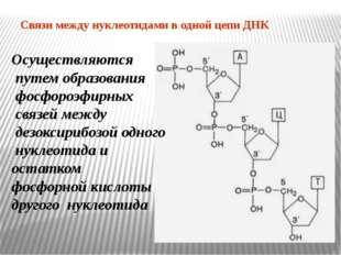 Связи между нуклеотидами в одной цепи ДНК Осуществляются путем образования фо