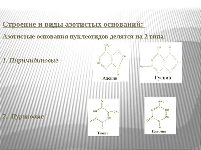 Строение и виды азотистых оснований: Азотистые основания нуклеотидов делятся...