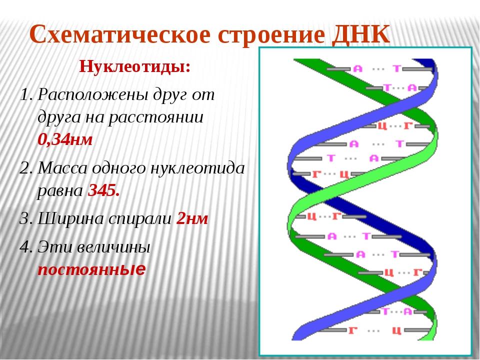 Схематическое строение ДНК Нуклеотиды: Расположены друг от друга на расстояни...