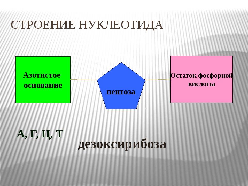 Азотистое основание Остаток фосфорной кислоты пентоза А, Г, Ц, Т   дезоксир...