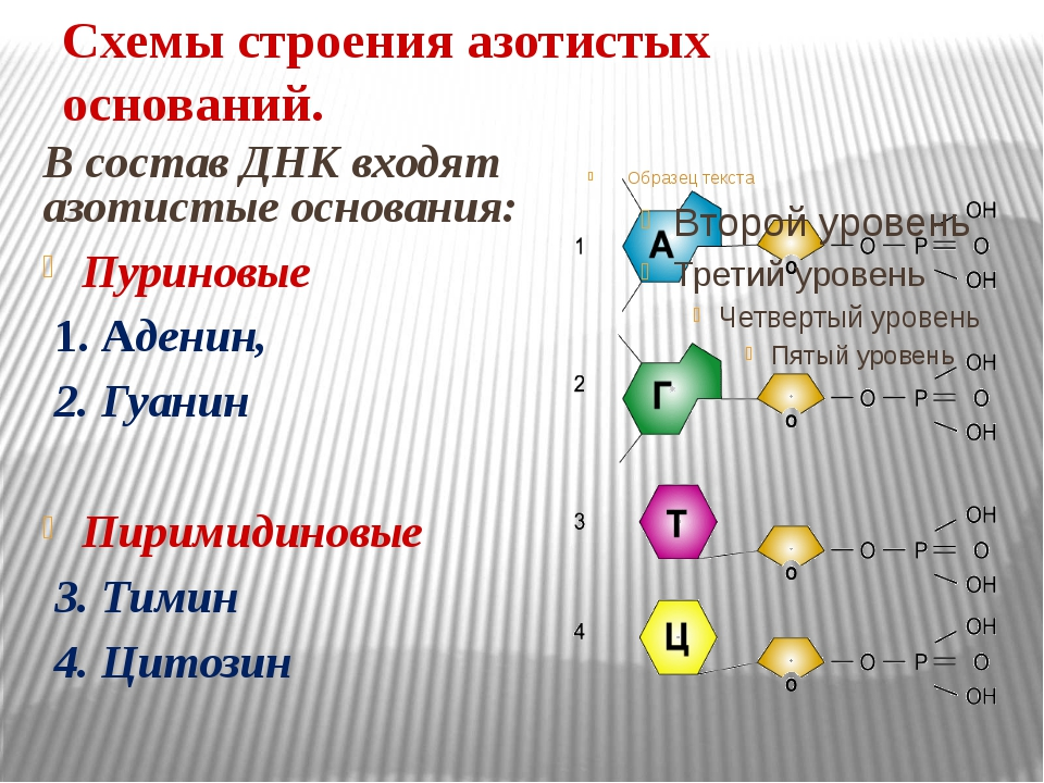 Схемы строения азотистых оснований. В состав ДНК входят азотистые основания:...