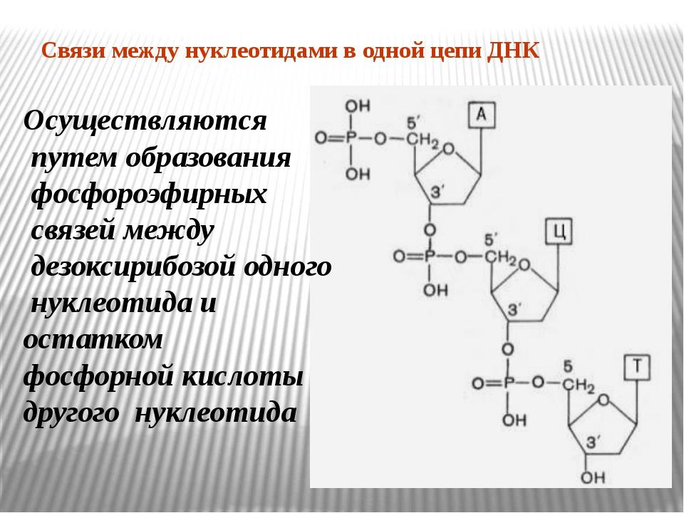 Связи между нуклеотидами в одной цепи ДНК Осуществляются путем образования фо...