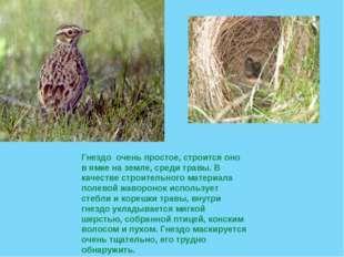 Гнездо очень простое, строится оно в ямке на земле, среди травы. В качестве с