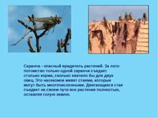 Саранча - опасный вредитель растений. За лето потомство только одной саранчи