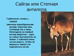 Сайгак или Степная антилопа Горбоносая голова у самцов увенчана лирообразными