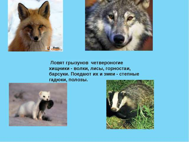 Ловят грызунов четвероногие хищники - волки, лисы, горностаи, барсуки. Поеда...