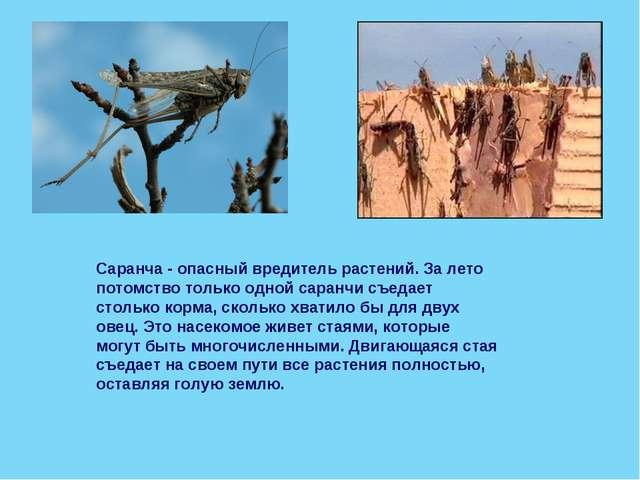 Саранча - опасный вредитель растений. За лето потомство только одной саранчи...