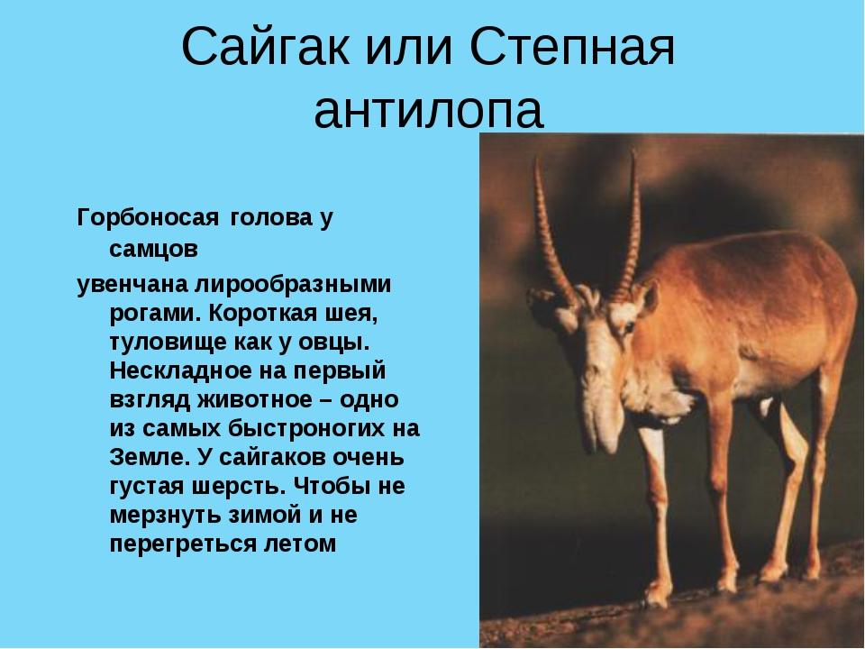 Сайгак или Степная антилопа Горбоносая голова у самцов увенчана лирообразными...