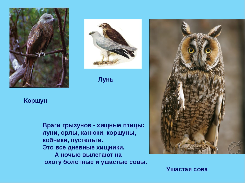 Враги грызунов - хищные птицы: луни, орлы, канюки, коршуны, кобчики, пустельг...