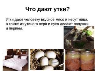 Что дают утки? Утки дают человеку вкусное мясо и несут яйца, а также из утино