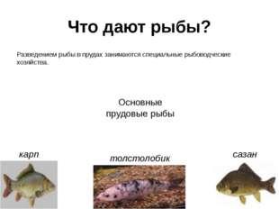 Что дают рыбы? Разведением рыбы в прудах занимаются специальные рыбоводческие