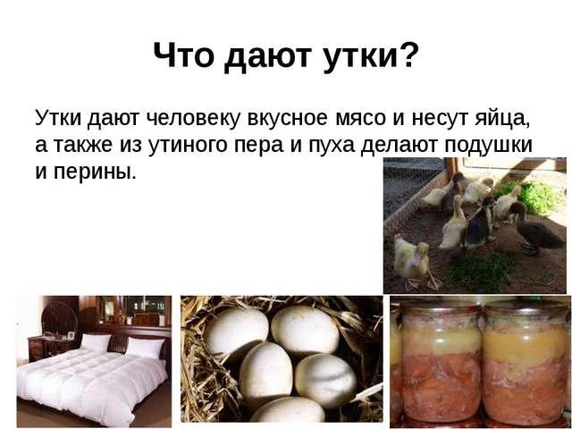 Что дают утки? Утки дают человеку вкусное мясо и несут яйца, а также из утино...
