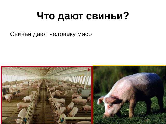 Что дают свиньи? Свиньи дают человеку мясо
