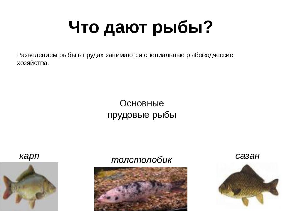 Что дают рыбы? Разведением рыбы в прудах занимаются специальные рыбоводческие...