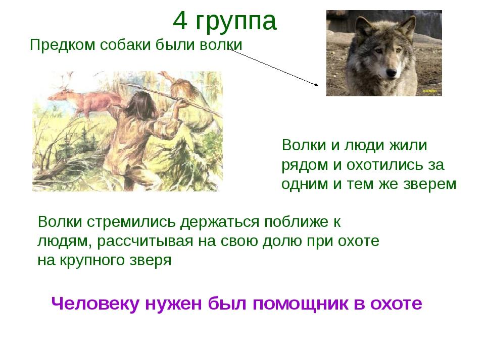 Предком собаки были волки Волки и люди жили рядом и охотились за одним и тем...