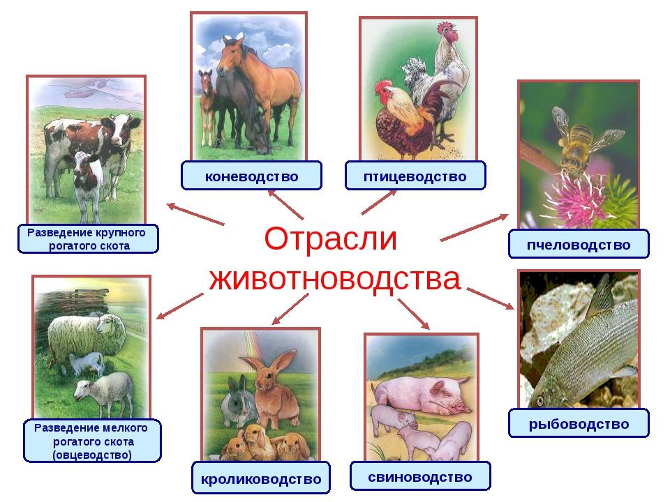 Отрасли животноводства Разведение крупного рогатого скота Разведение мелкого...