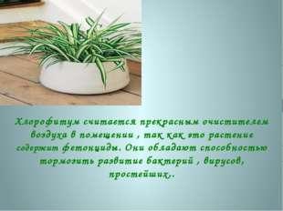 Хлорофитум считается прекрасным очистителем воздуха в помещении , так как это