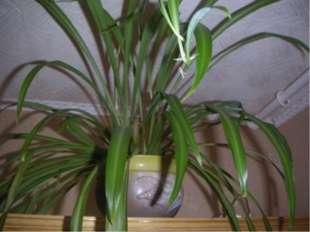 Задачи проекта научить вести наблюдения за комнатными растениями; научить про