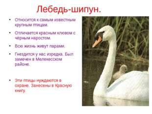 Лебедь-шипун. Относится к самым известным крупным птицам. Отличается красным
