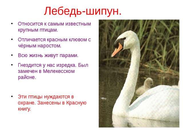 Лебедь-шипун. Относится к самым известным крупным птицам. Отличается красным...