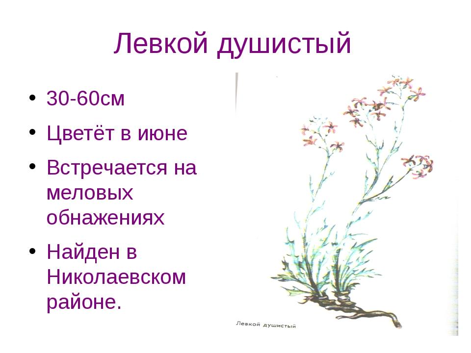 Левкой душистый 30-60см Цветёт в июне Встречается на меловых обнажениях Найде...