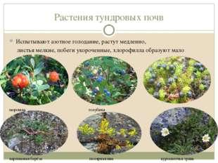Растения тундровых почв Испытывают азотное голодание, растут медленно, листья