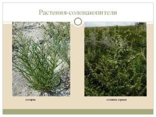 Растения-соленакопители солярис солянка сорная