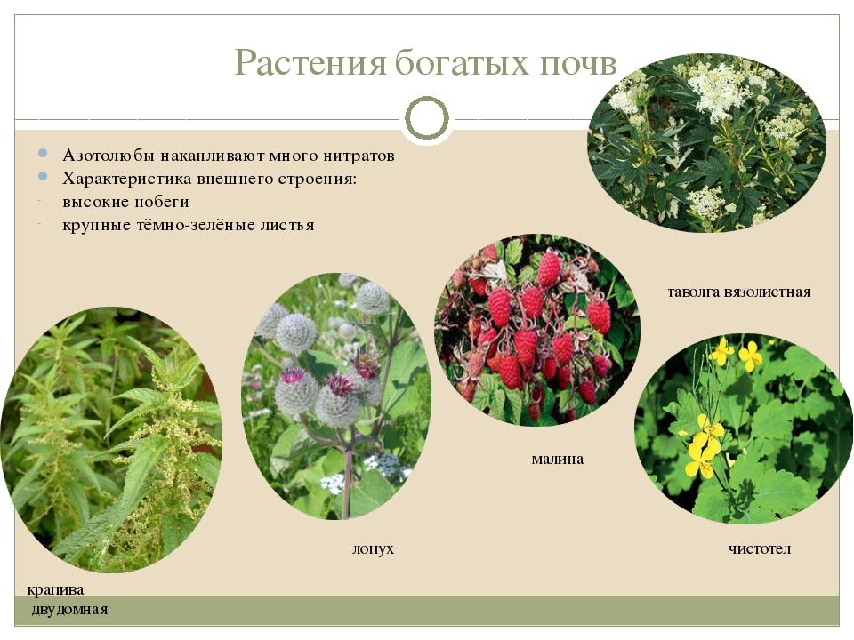 Растения богатых почв Азотолюбы накапливают много нитратов Характеристика вне...