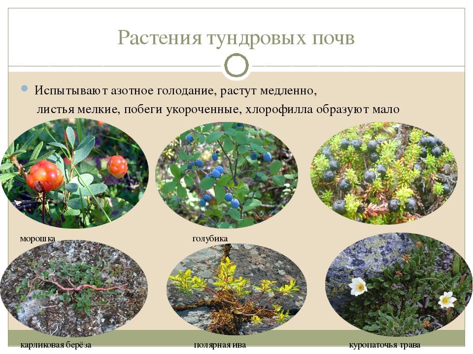 Растения тундровых почв Испытывают азотное голодание, растут медленно, листья...