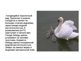 Лебедь шипун Гнездящийся перелетный вид. Прилетает в апреле. Гнездится и лин