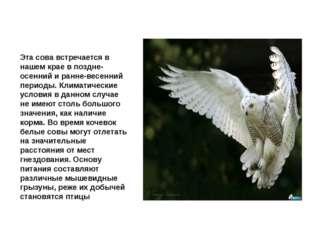 Сова белая Эта сова встречается в нашем крае в поздне-осенний и ранне-весенни