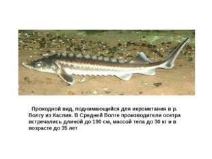 Осетр русский Проходной вид, поднимающийся для икрометания в р. Волгу из Ка