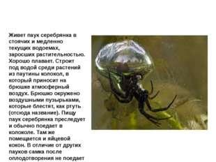 Паук серебрянка Живет паук серебрянка в стоячих и медленно текущих водоемах,