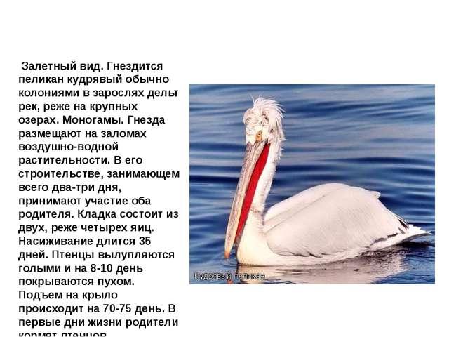 Пеликан кудрявый Залетный вид. Гнездится пеликан кудрявый обычно колониями в...