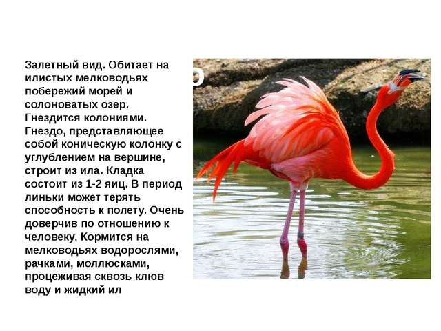 Фламинго Залетный вид. Обитает на илистых мелководьях побережий морей и солон...