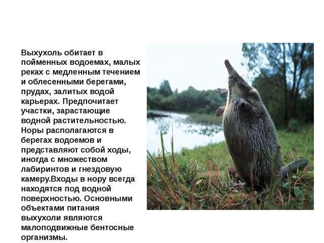 Выхухоль Выхухоль обитает в пойменных водоемах, малых реках с медленным течен...