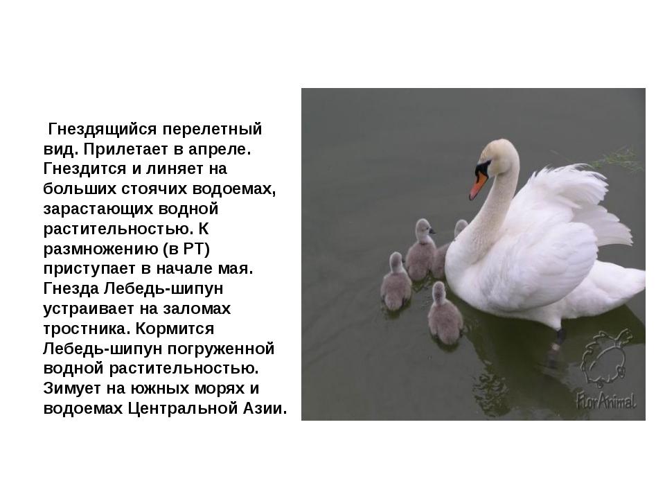 Лебедь шипун Гнездящийся перелетный вид. Прилетает в апреле. Гнездится и лин...