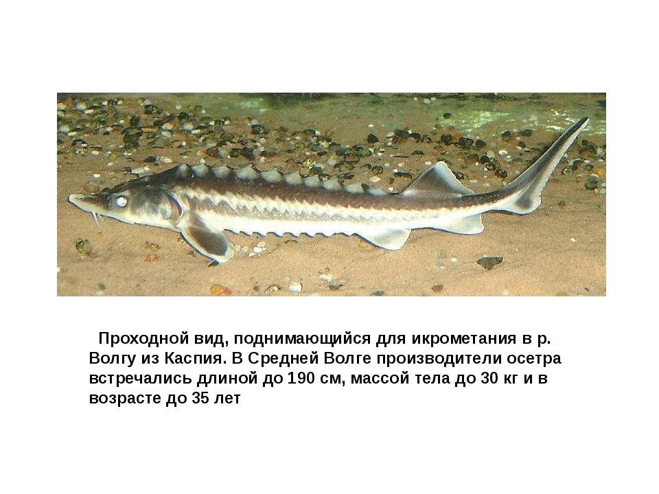 Осетр русский Проходной вид, поднимающийся для икрометания в р. Волгу из Ка...