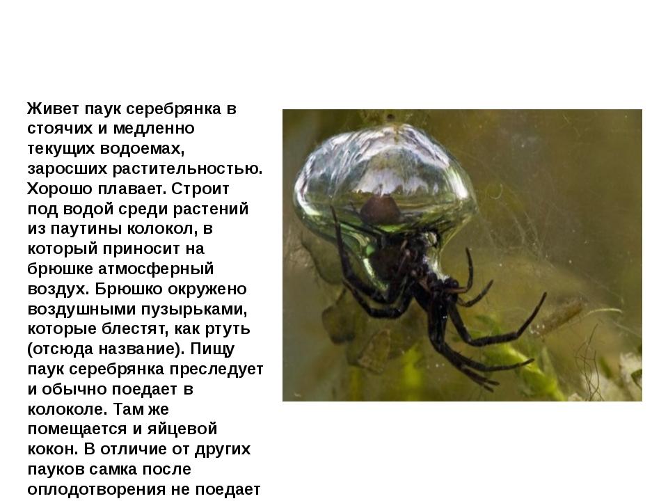 Паук серебрянка Живет паук серебрянка в стоячих и медленно текущих водоемах,...