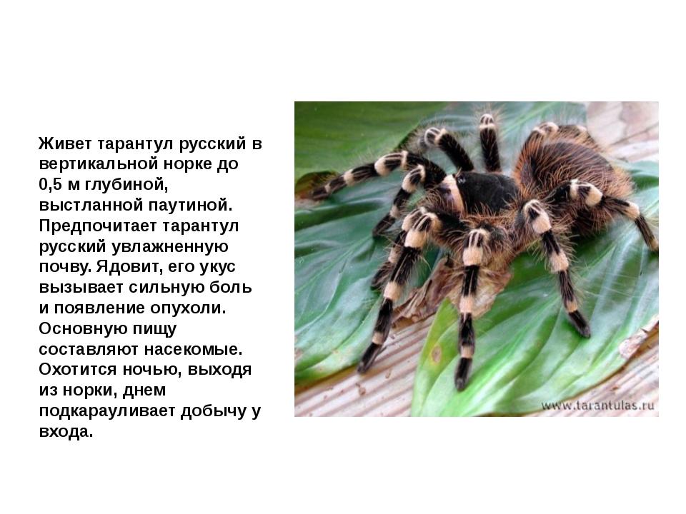 Тарантул Живет тарантул русскийв вертикальной норке до 0,5 м глубиной, выстл...