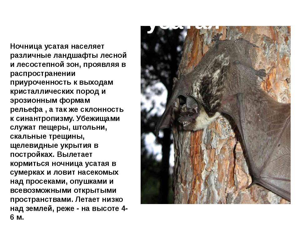 Ночница усатая Ночница усатая населяет различные ландшафты лесной и лесостепн...