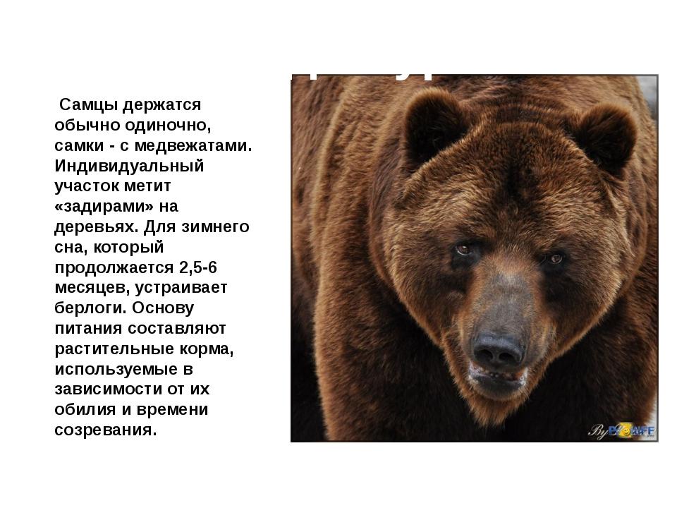 Медведь бурый Самцы держатся обычно одиночно, самки - с медвежатами. Индивид...
