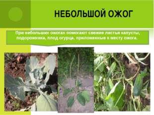 НЕБОЛЬШОЙ ОЖОГ При небольших ожогах помогают свежие листья капусты, подорожни