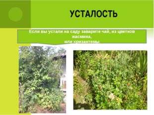 УСТАЛОСТЬ Если вы устали на саду заварите чай, из цветков жасмина, или хризан