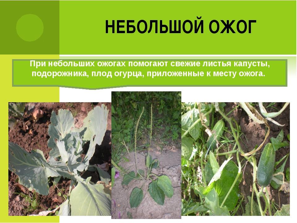 НЕБОЛЬШОЙ ОЖОГ При небольших ожогах помогают свежие листья капусты, подорожни...