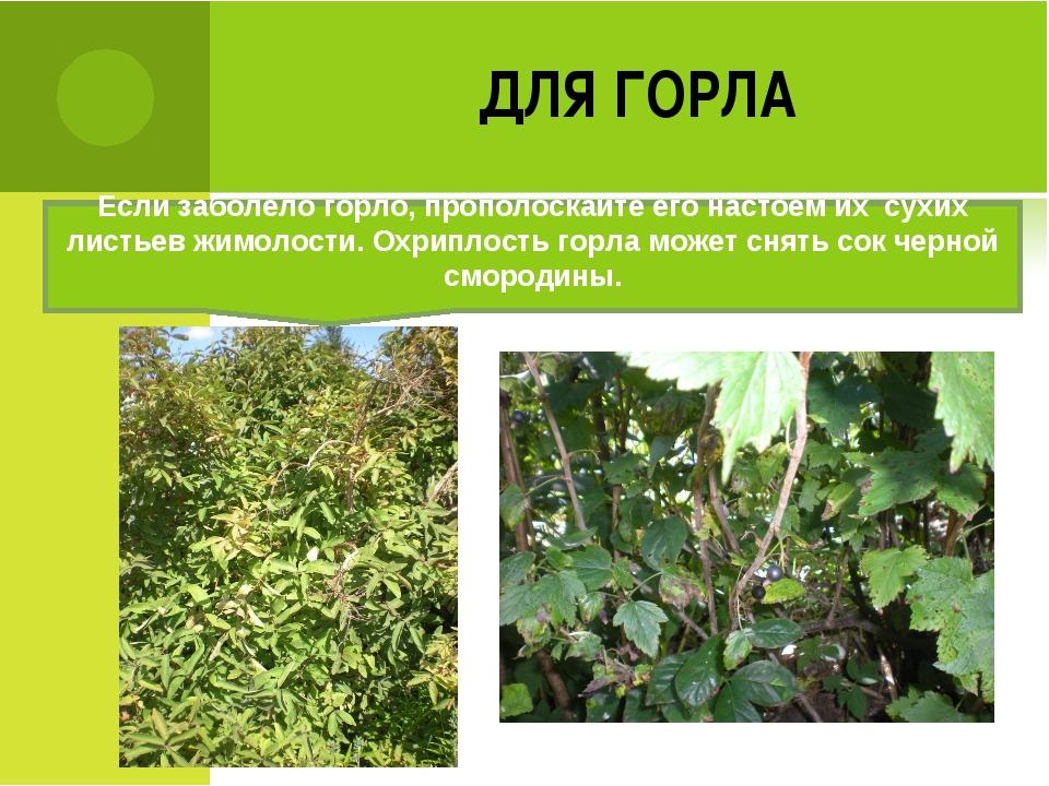 ДЛЯ ГОРЛА Если заболело горло, прополоскайте его настоем их сухих листьев жим...