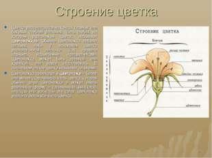 Строение цветка Цветки располагаются на концах главных или боковых стеблей ра